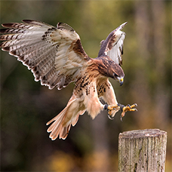 Hawk landing on tree